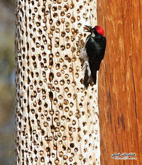 نقار الخشب 2013 كيفيه تخزين