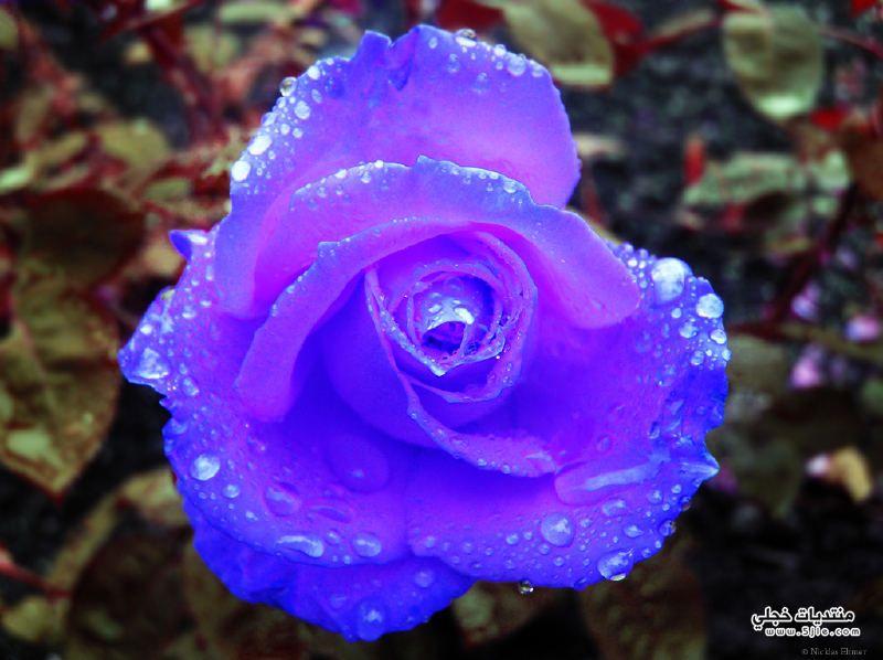 ورود رومانسية 2014 Romantic Flowers