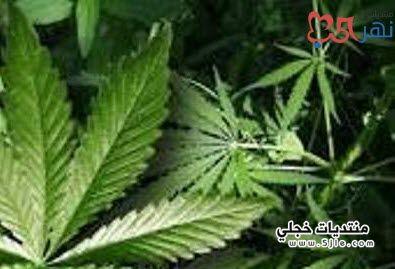 معلومات مخدر الماريجوانا