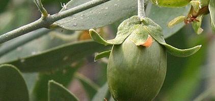 نبات الذهب الاخضر