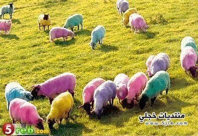 شوفو الفرق اليآبآن وغنمنآ