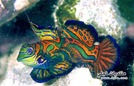 mandarin fish ������� ������� ��������