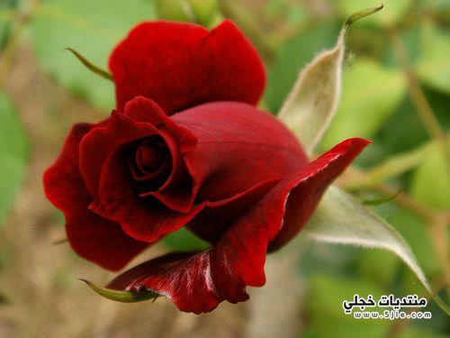 ازهار الحب