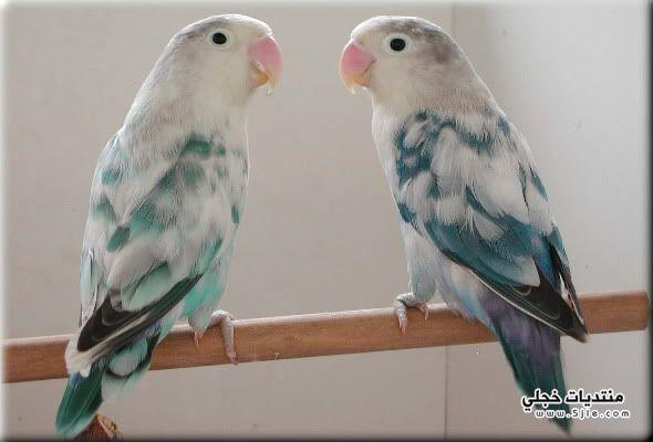 طيور الحب طيور الحب اجمل