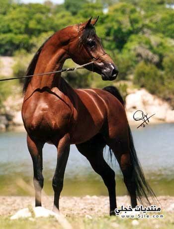خيول عربية 2015 خيول 2015