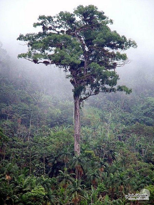 اكبر الاشجار العالم اكبر شجرة