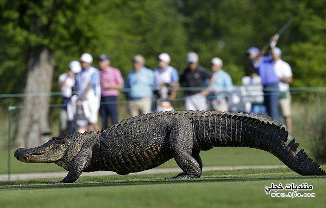 تمساح ملعب للجولف تمساح ملعب