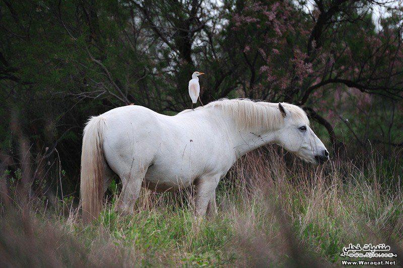 احصنة وخيول احصنة وخيول احصنة