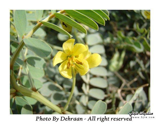استخدامات نبات العشرج 2013 فوائد