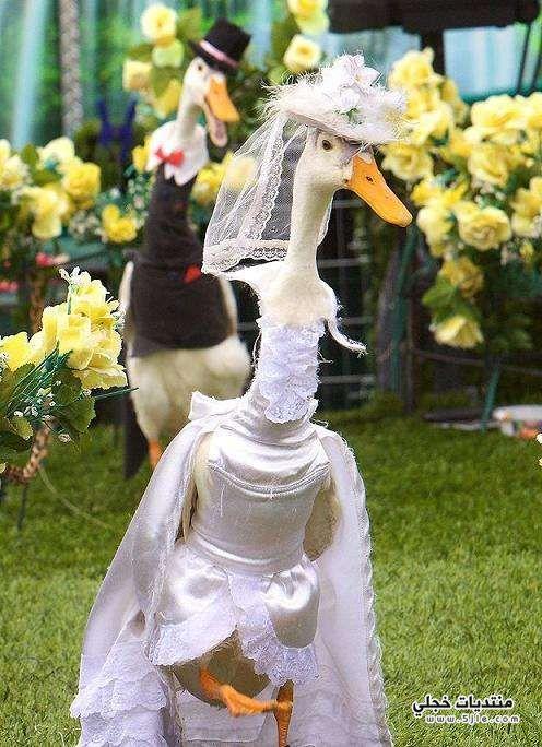 ازياء البط استراليا 2014 البط