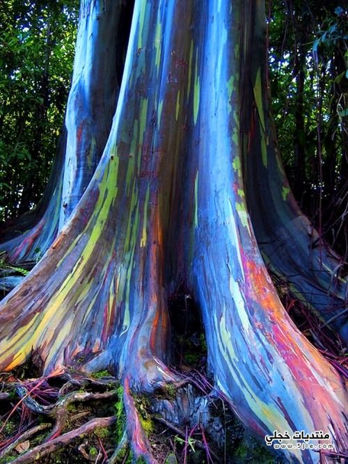 شجرة الصمغية 2014 عجائب شجرة
