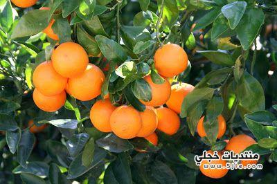 اكثر العالم انتاجا للبرتقال