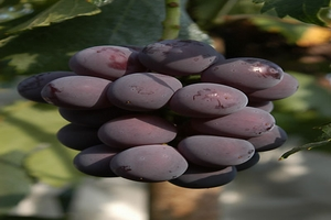 فوائد ورق العنب الاسود ، ورق العنب الاسود ومقاومة الملاريا