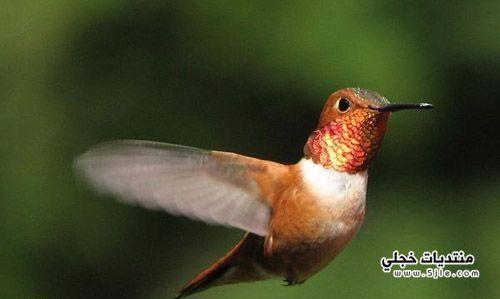 اصغر طائر العالم لاصغر طائر