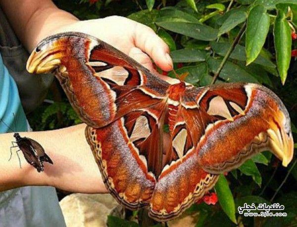 Attacus atlas فراشة اتاكوس اطلس