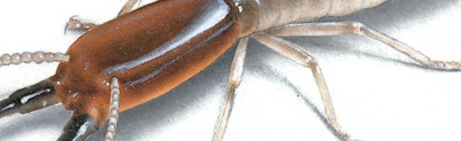 معلومات حشرة النمل الابيض