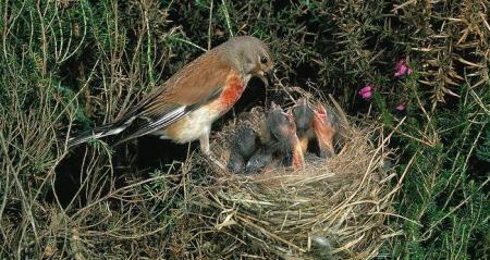 تفسير العش والعصافير