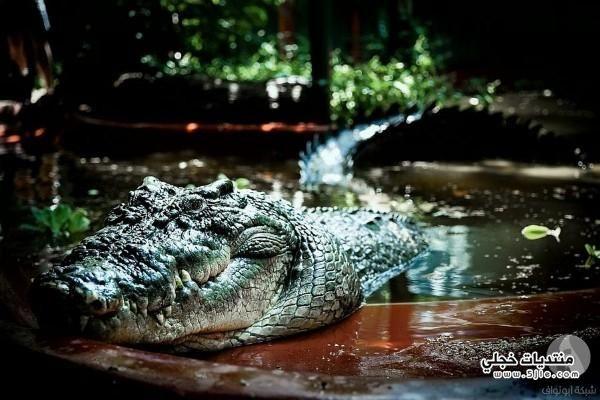 اكبر تمساح العالم اكبر تمساح