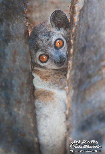 حيوان الليمور معلومات حيوان الليمور