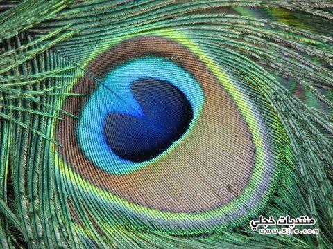 الطاوس معلومات الطاوس للطاووس