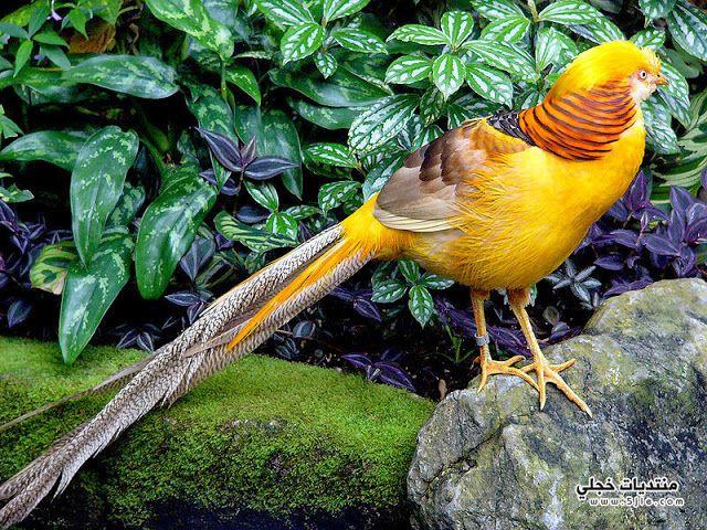 طائر الدراج الذهبي