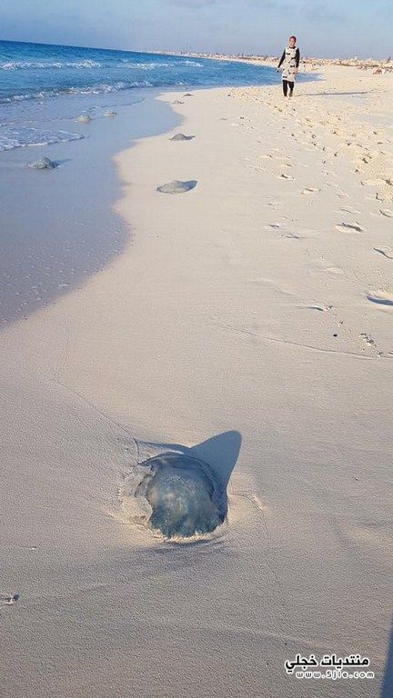 قنديل البحر