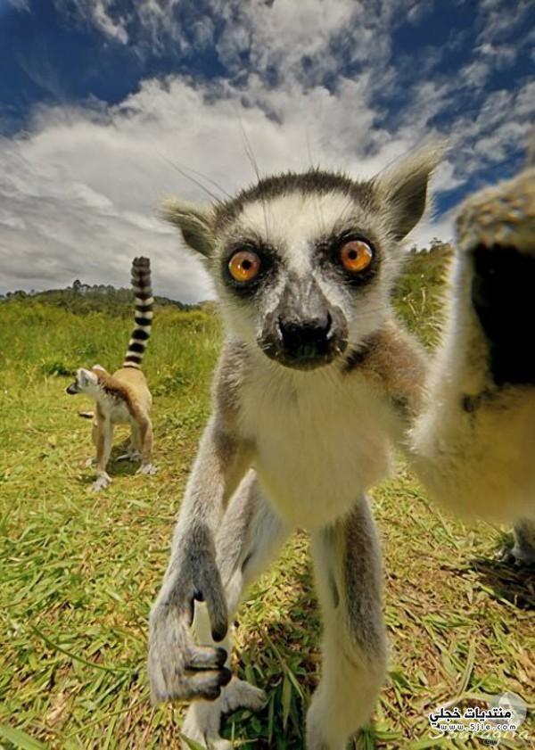 حيوان الليمور حيوان الليمور مضحكة