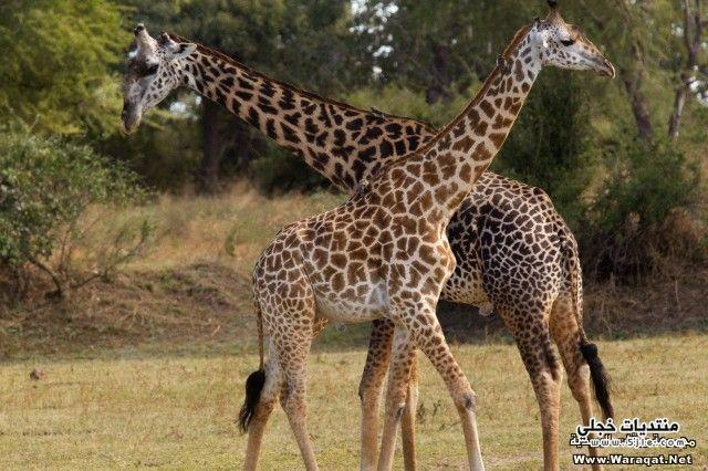 صور زرافة حيوان الزرافة صور حيوانات الزرافة الزرافة