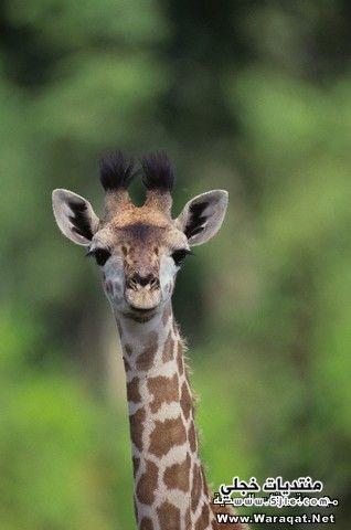 زرافة حيوان الزرافة حيوانات الزرافة