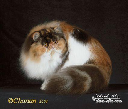 انـواع القطط بالصور