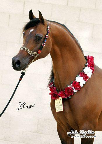 اجمل الخيول العربيه 2014