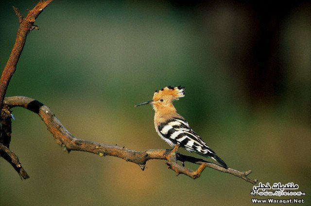سليمان الهدهد طيور الهدهد