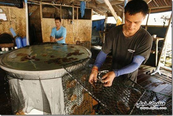 مزارع اللؤلؤ الذهبي الفلبين روعة