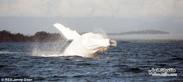 الحوت الابيض