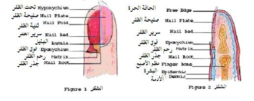 امراض الاظافر الاظافر وامراضها