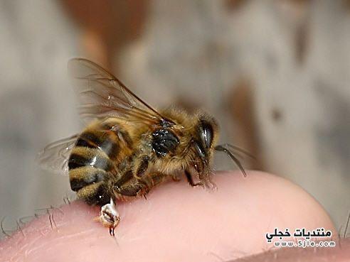 اضرار لسعة النحل فوائد لسعة