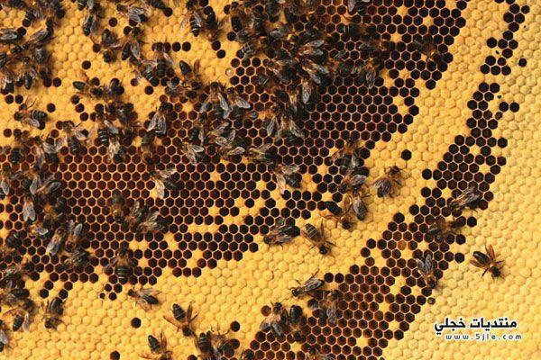 استخراج العسل جبال الهملايا النيبال